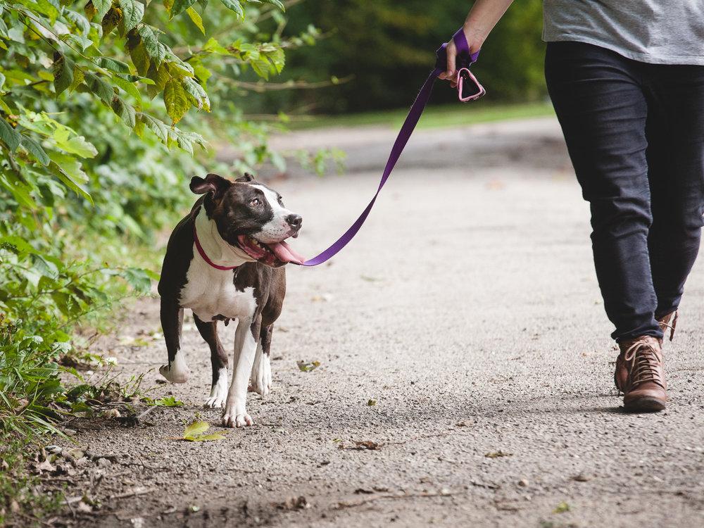 Adoptable Pit Bull | Lulu's Locker Rescue