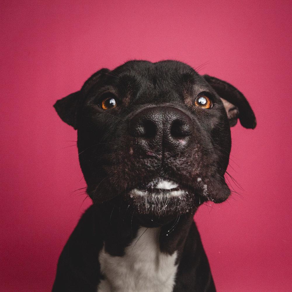 Chicago Dog Photographer