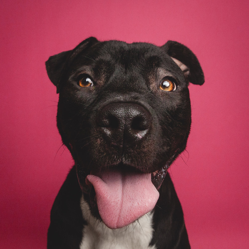 Pit bull terrier at Chicago Animal Care and Control