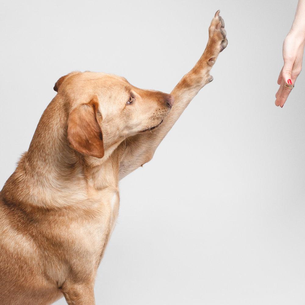 Labrador retriever, Chicago Pet Photographer