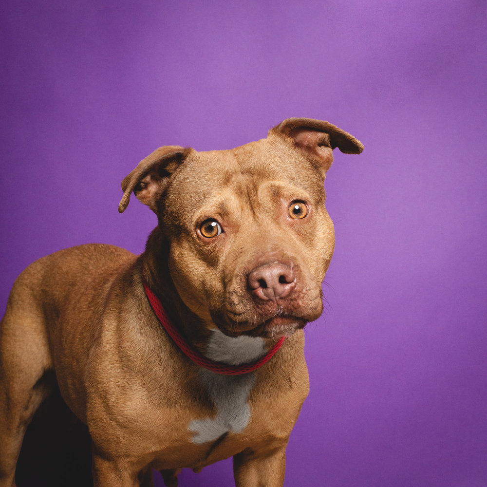 Pit Bull Terrier, Chicago Animal Care and Control
