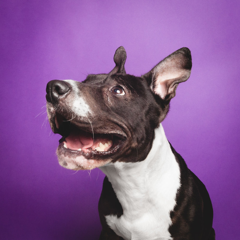 Pit Bull Terrier Mix, Chicago Pet Photography