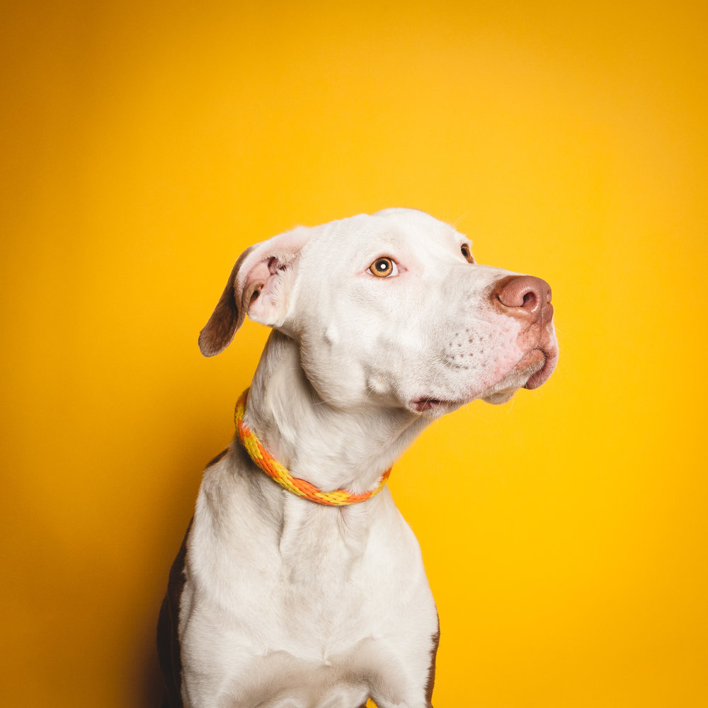American Pit Bull Terrier, Chicago Animal Care and Control