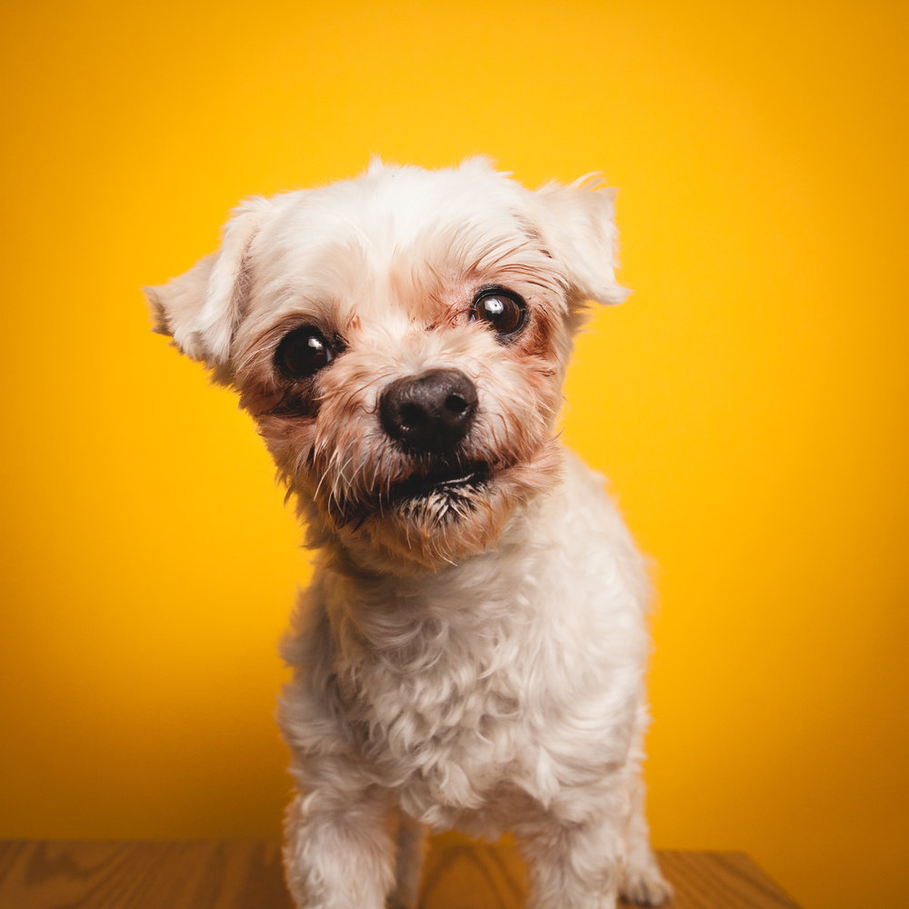 Shih Tzu / Poodle Mix, PAWS Chicago