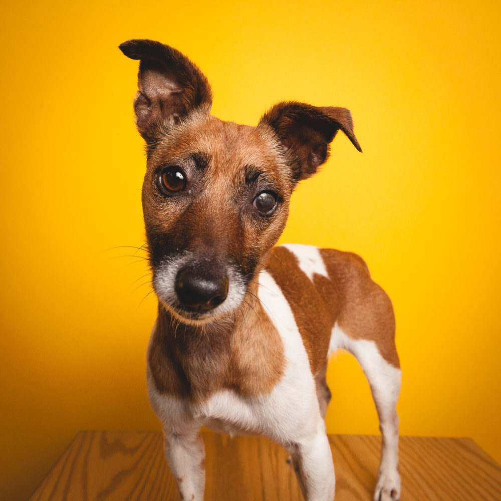 Jack Russell Mix, PAWS Chicago