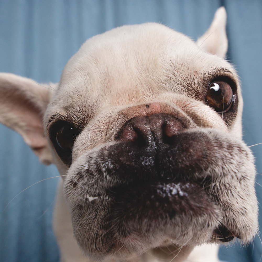 French Bulldog Portrait | AMSTAPHY, Pet Photography