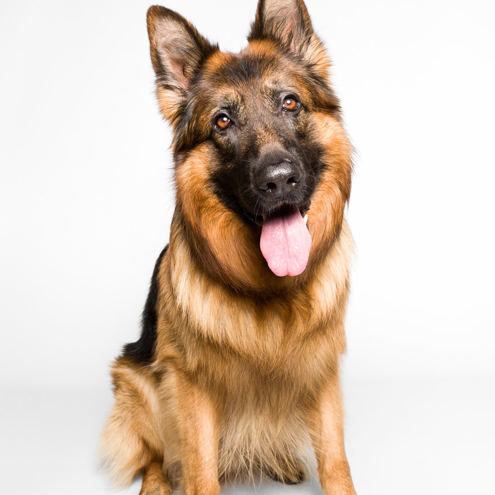 German Shepherd model at AMSTAPHY pet photography