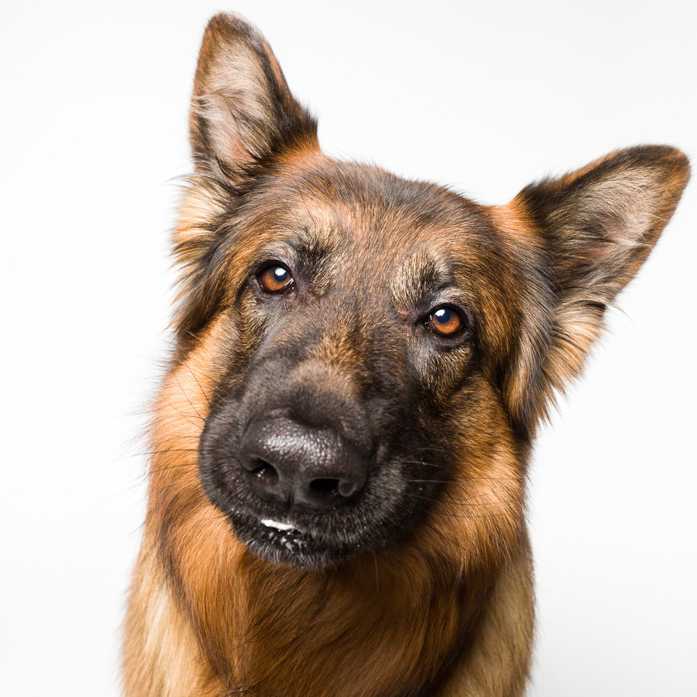 Silly German Shepherd Dog with AMSTAPHY dog photography