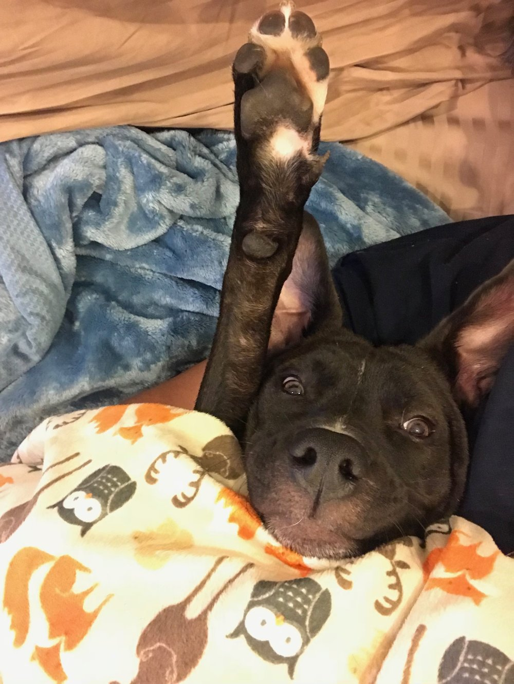 Funny Pocket Pittie