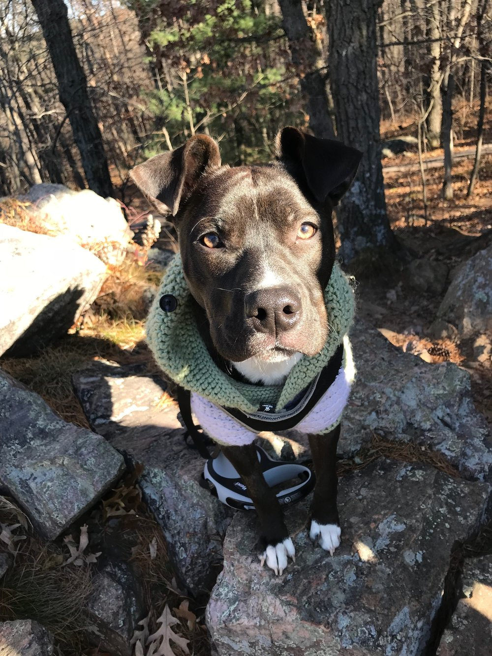 Pocket Pittie wearing Coat