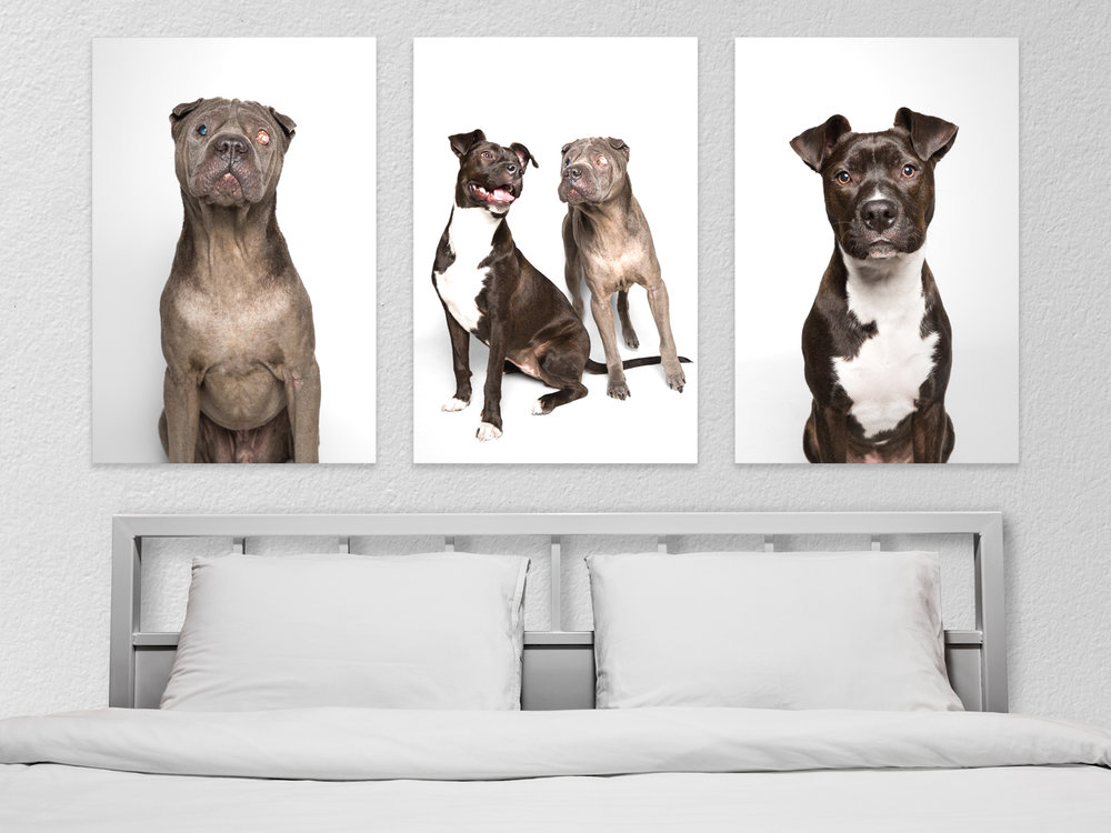 Shar-Pei and Pocket Pittie wall portraits by AMSTAPHY dog photography