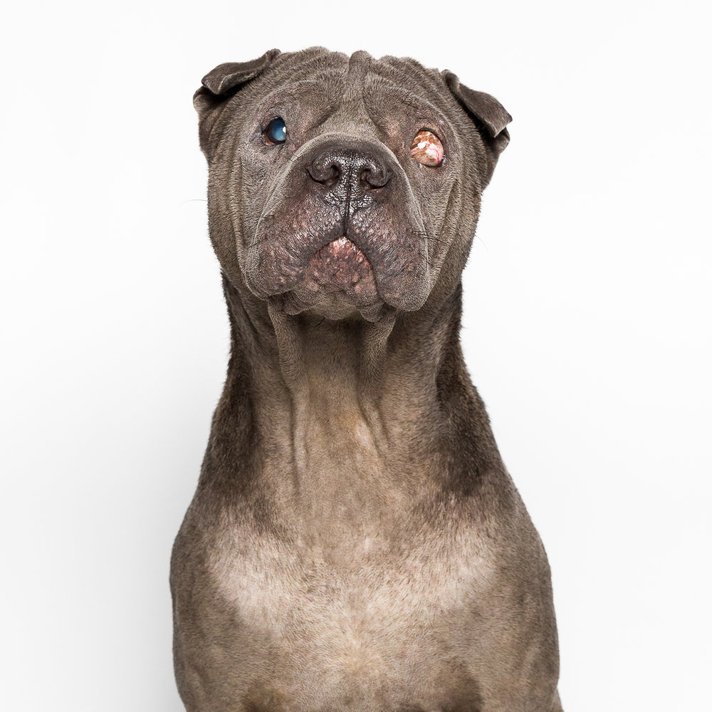 Portrait of Shar-Pei by AMSTAPHY dog photography