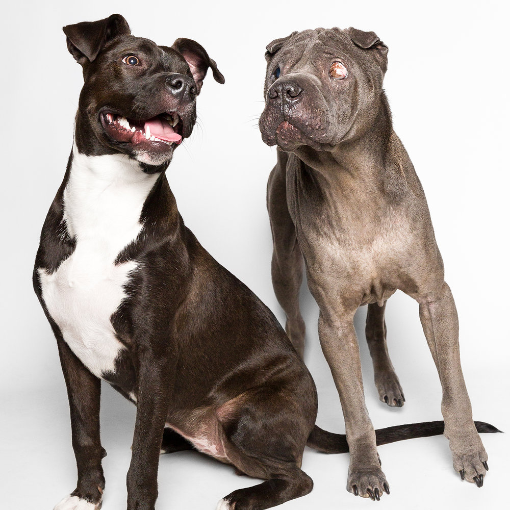 Portrait of Shar-Pei and Pocket Pittie by Chicago pet photographer