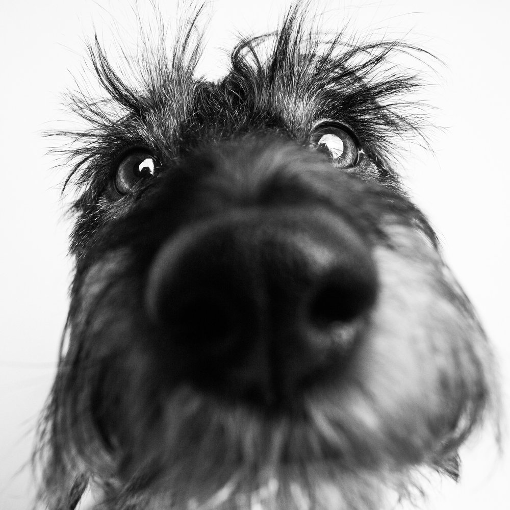 Funny dachshund portrait, Amstaphy