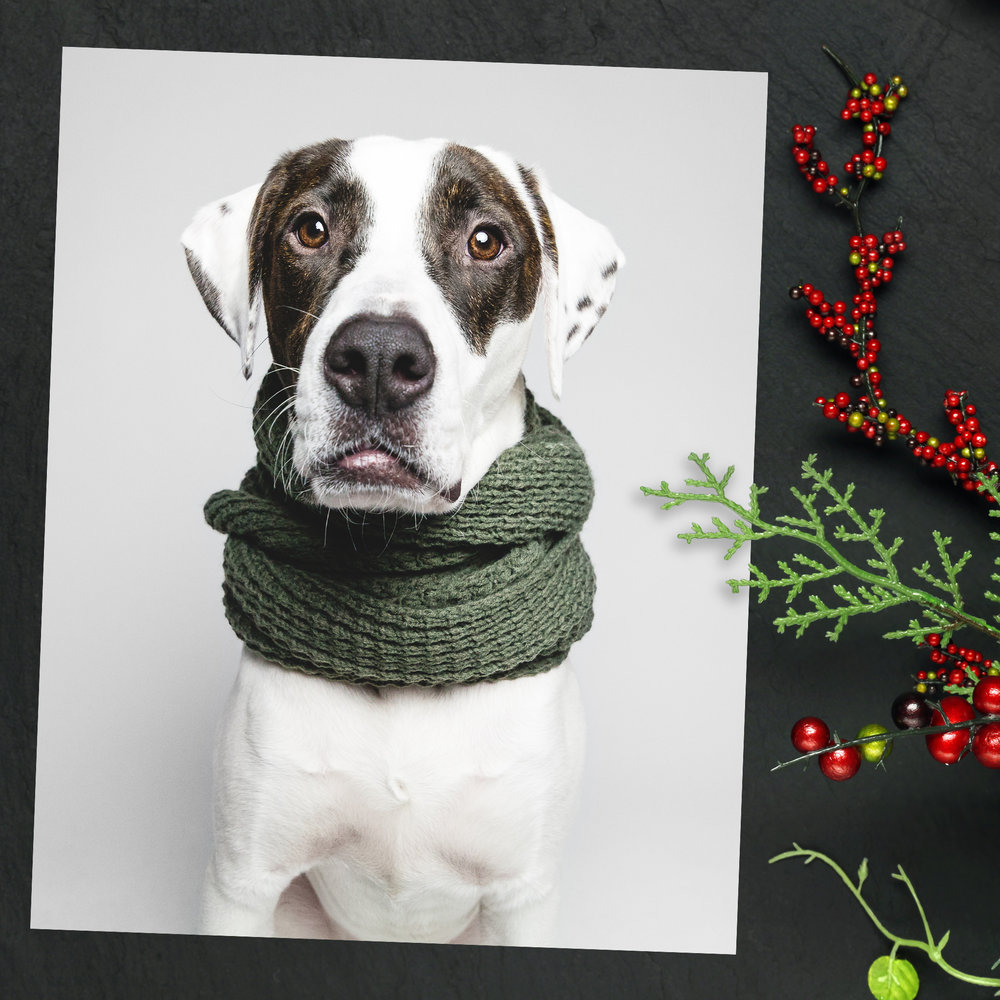 Holiday Pet Mini Session, Chicago Pet Photography