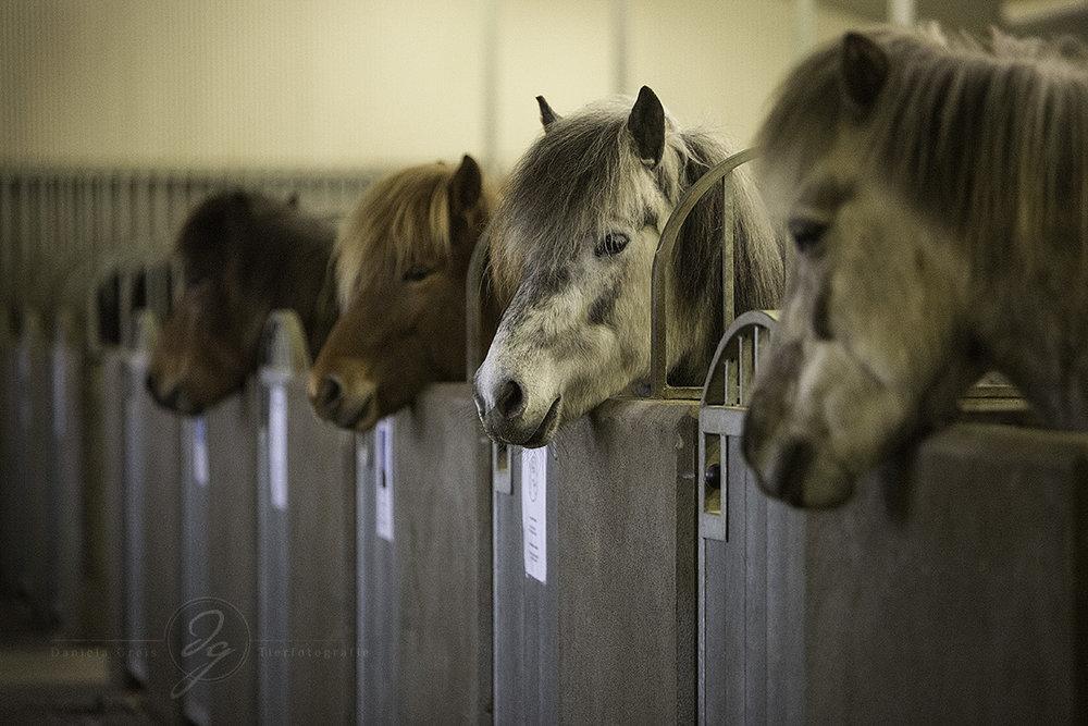 Some of the lovely horses of Strandarhöfuð