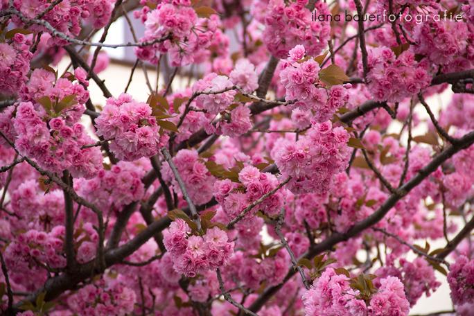 Cherry Blossoms 19.jpg