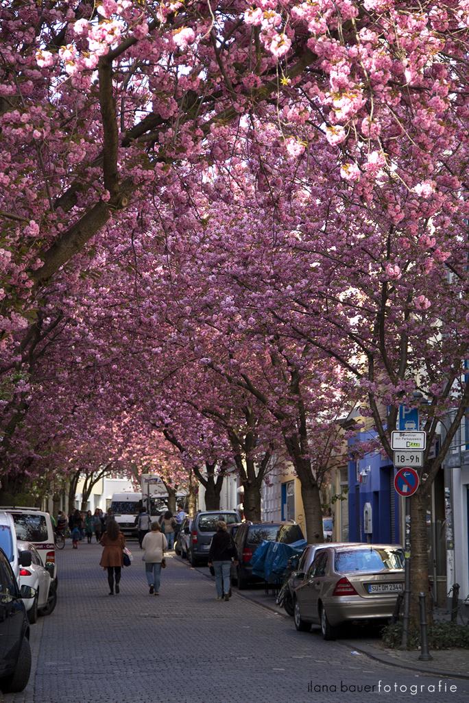 Cherry Blossoms 11.jpg