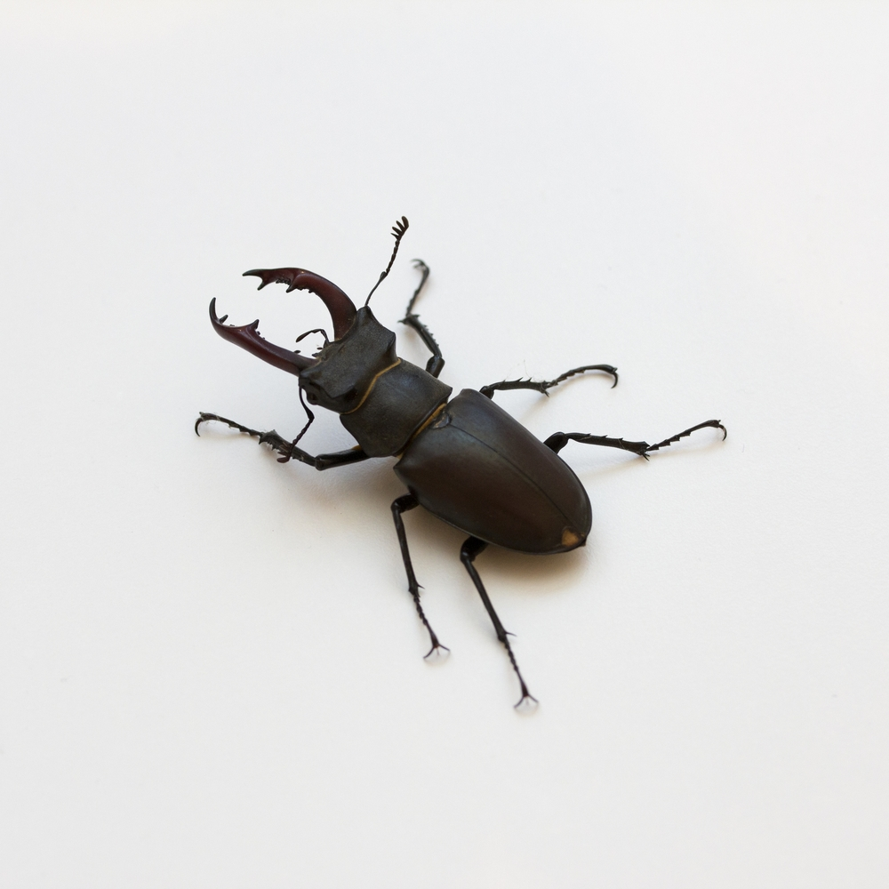 May Beetles, June Bugs, and the Hirschkäfer — Ilana Denis Bauer