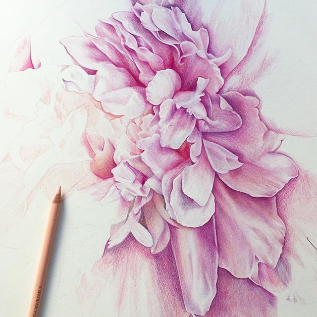 Peony season 💕  #peony #pinkpeonies #drawing #illustration #botanicalillustration #sketchbook #floralart