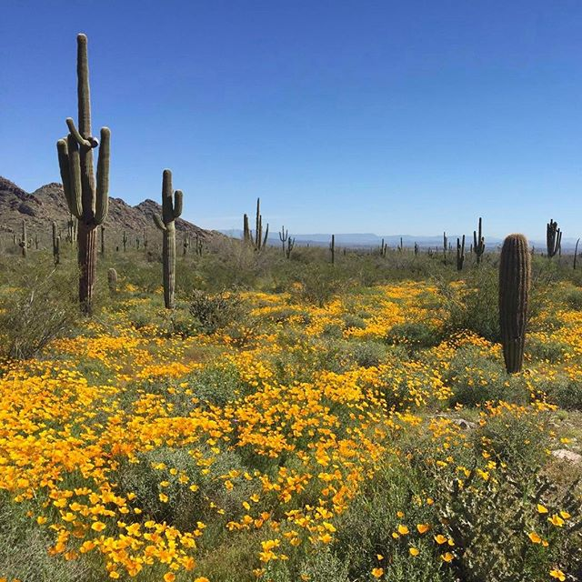 Welcoming spring with hikes in the Sonoran Desert. 🌵 #whitetankmountains #sonorandesert #spring #saguaro #wildflowers #arizona
