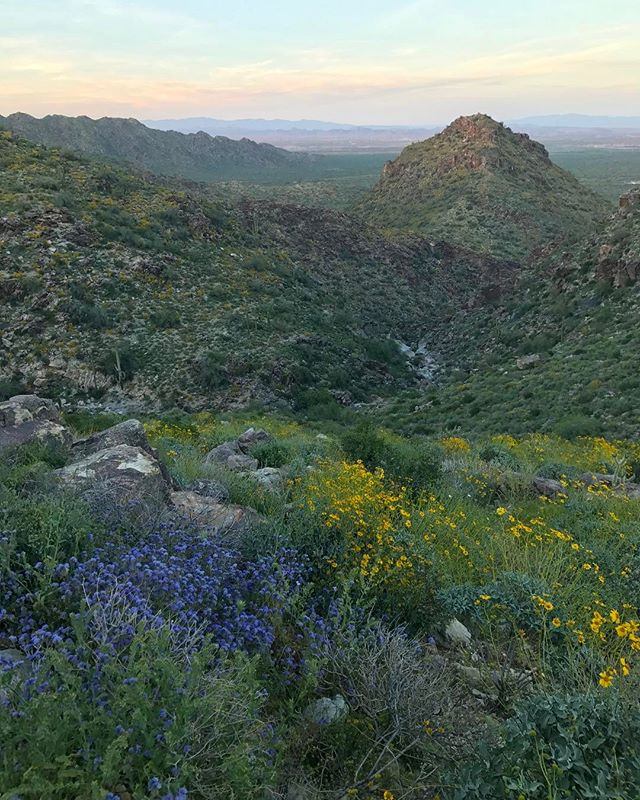 Evening hikes in the White Tanks.  #wildflowers #arizona #whitetankmountains