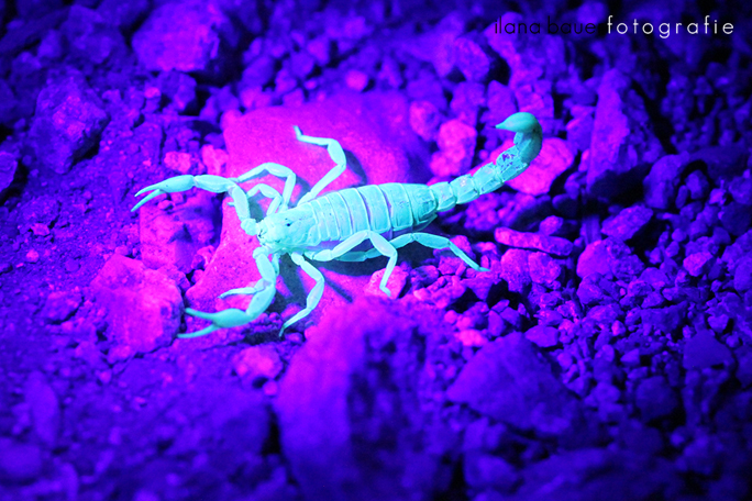 Scorpions 007.jpg