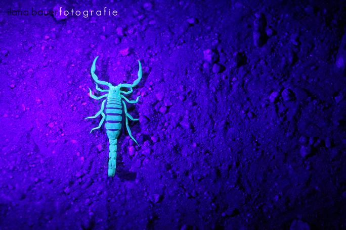 Scorpions 008.jpg
