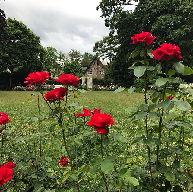 Summer roses. 🌹
