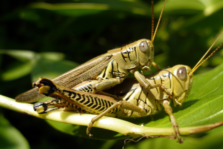 This is the way it seemed today. Grasshoppers making more grasshoppers. Tons of grasshoppers!