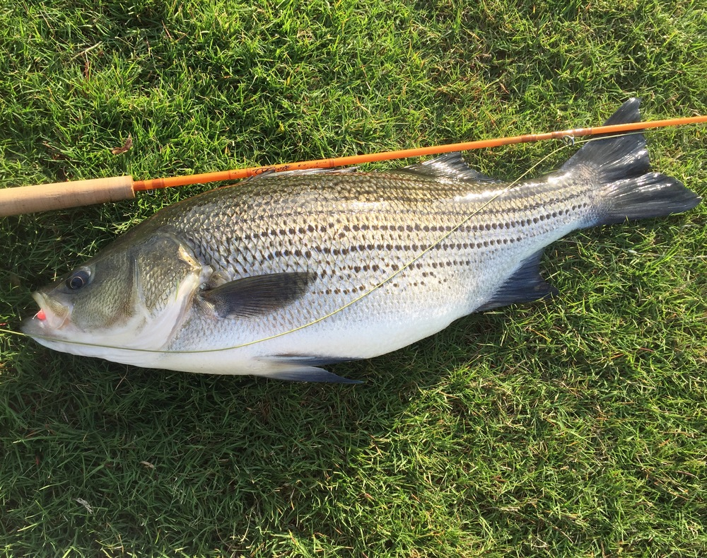 A stripe bass I caught last night on a 2 weight fly rod