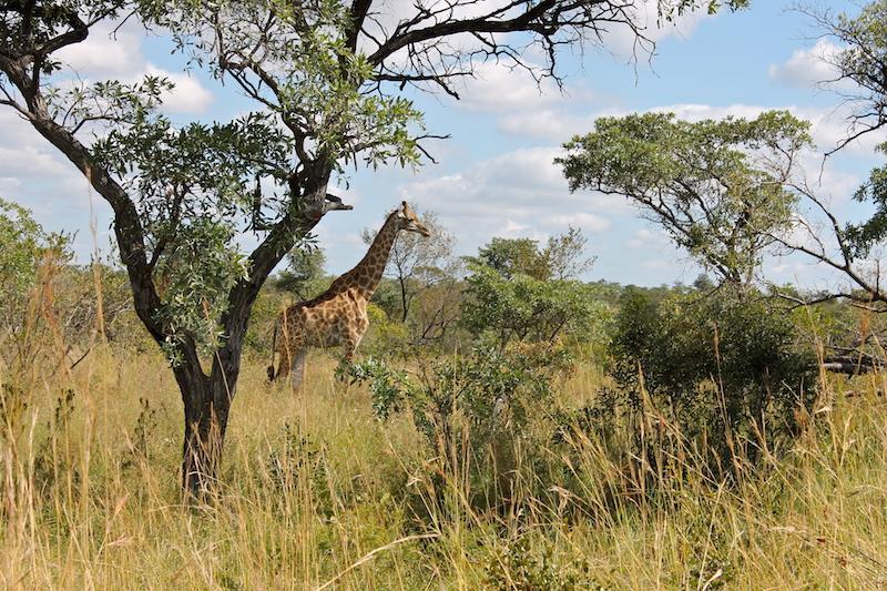 Giraffe Kruger safari