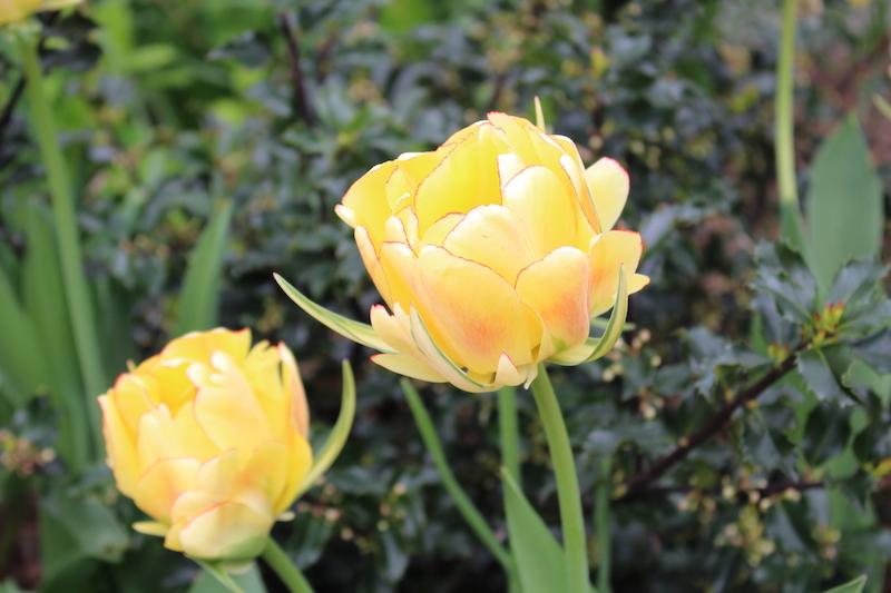 tulips marie frei.JPG