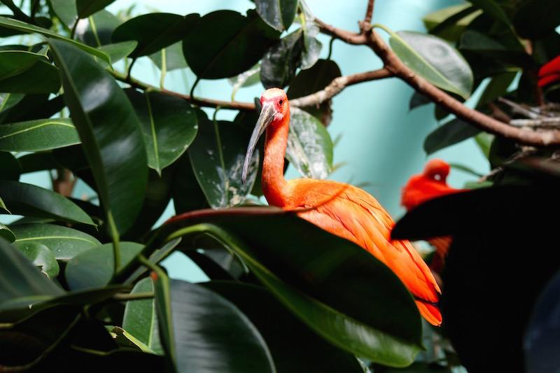 bronx zoo scarlet ibis onecarryon.jpg
