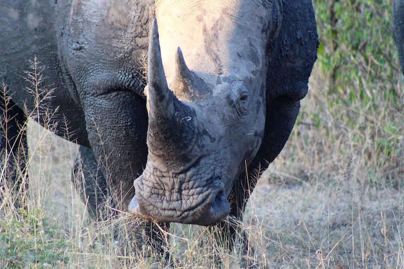 One of the beautiful rhinos I encountered at Thornybush