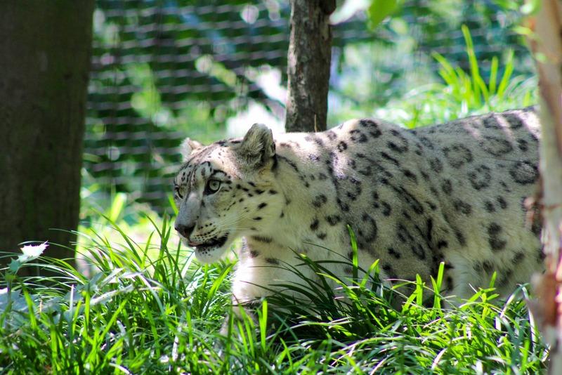 snow leopard central park zoo.jpg