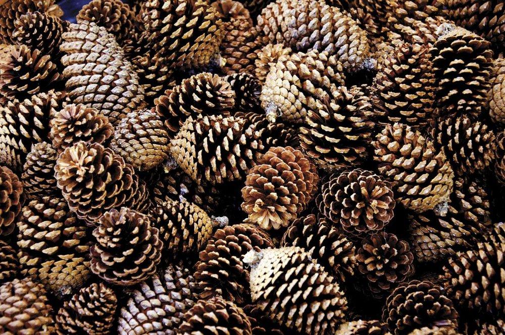 Pine cones Per 30g 25 credits