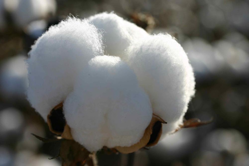 Cotton4.jpg