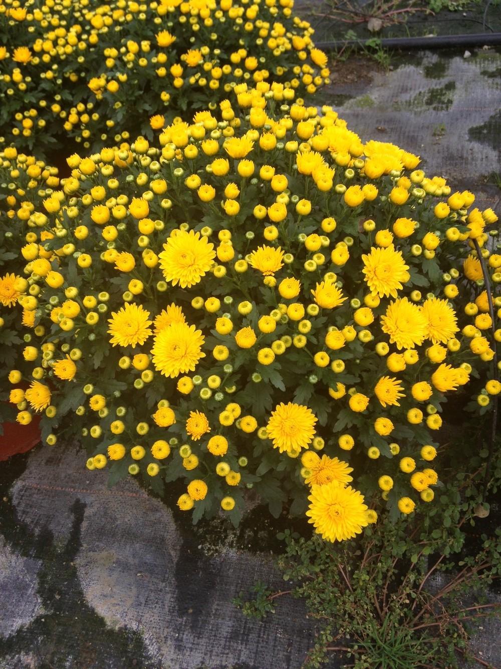 Yellow Mums 3.jpg