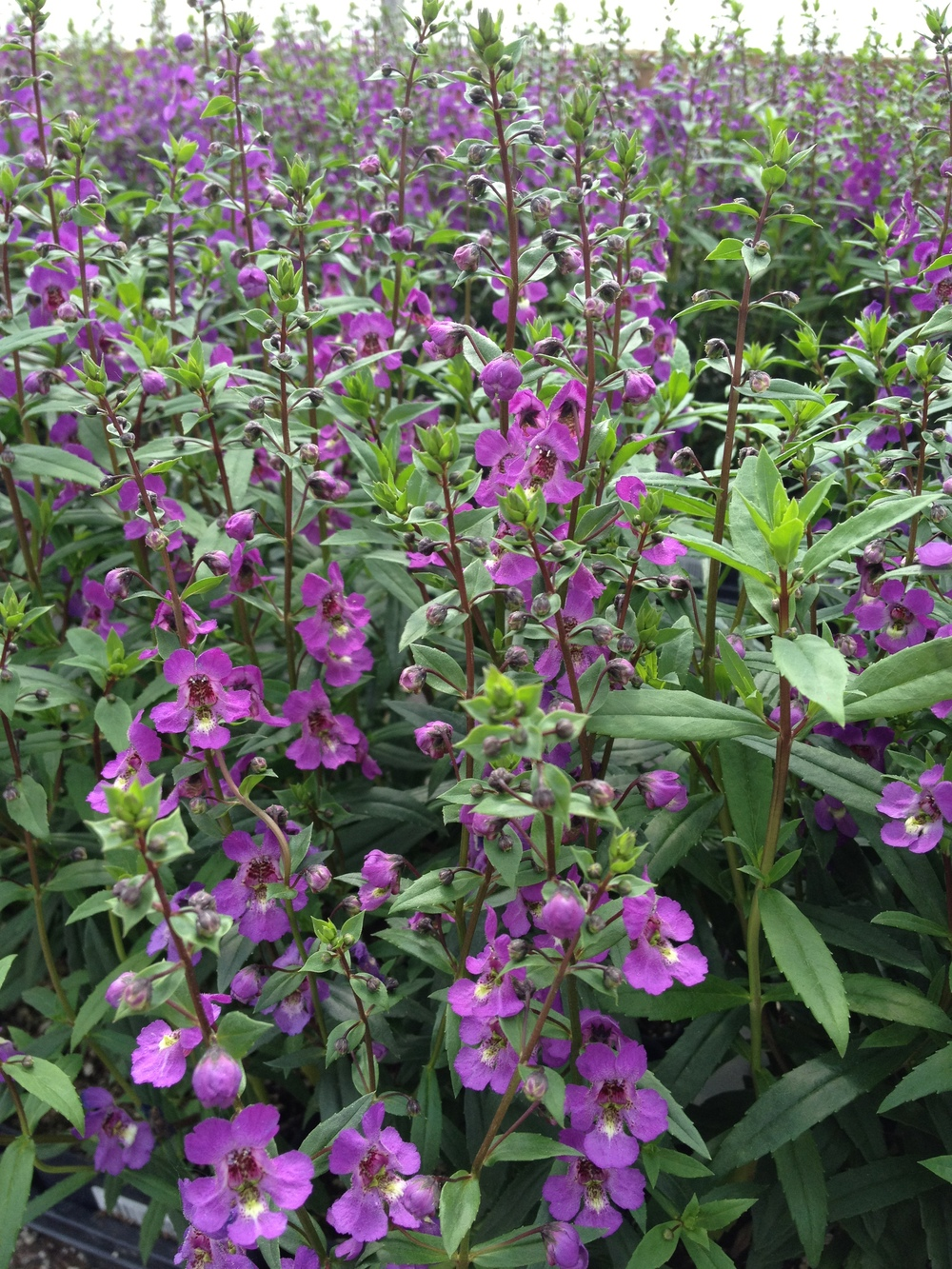 Purple Angelonia