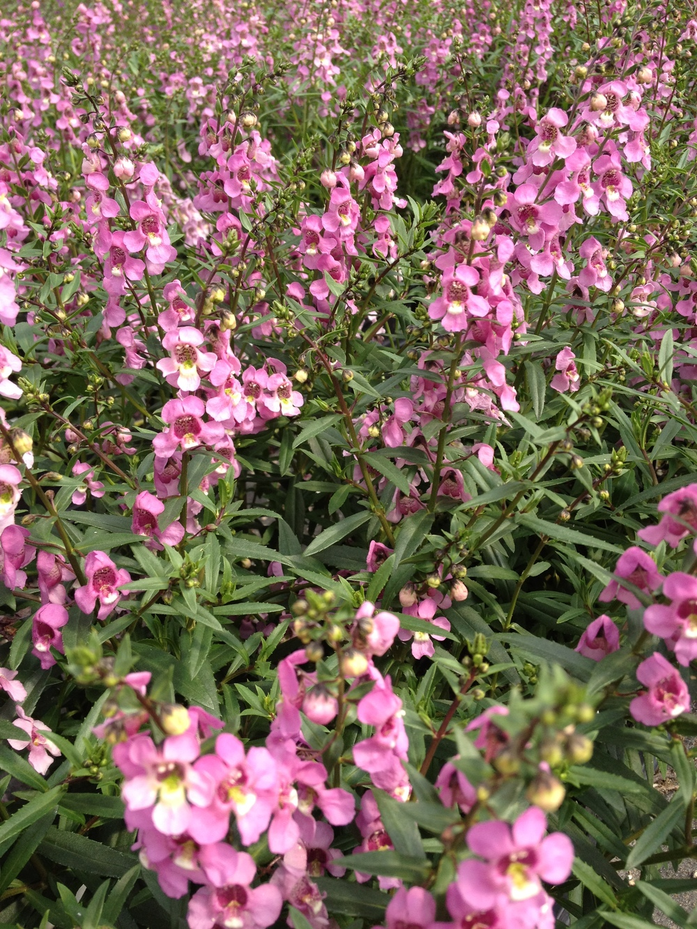 Pink Angelonia