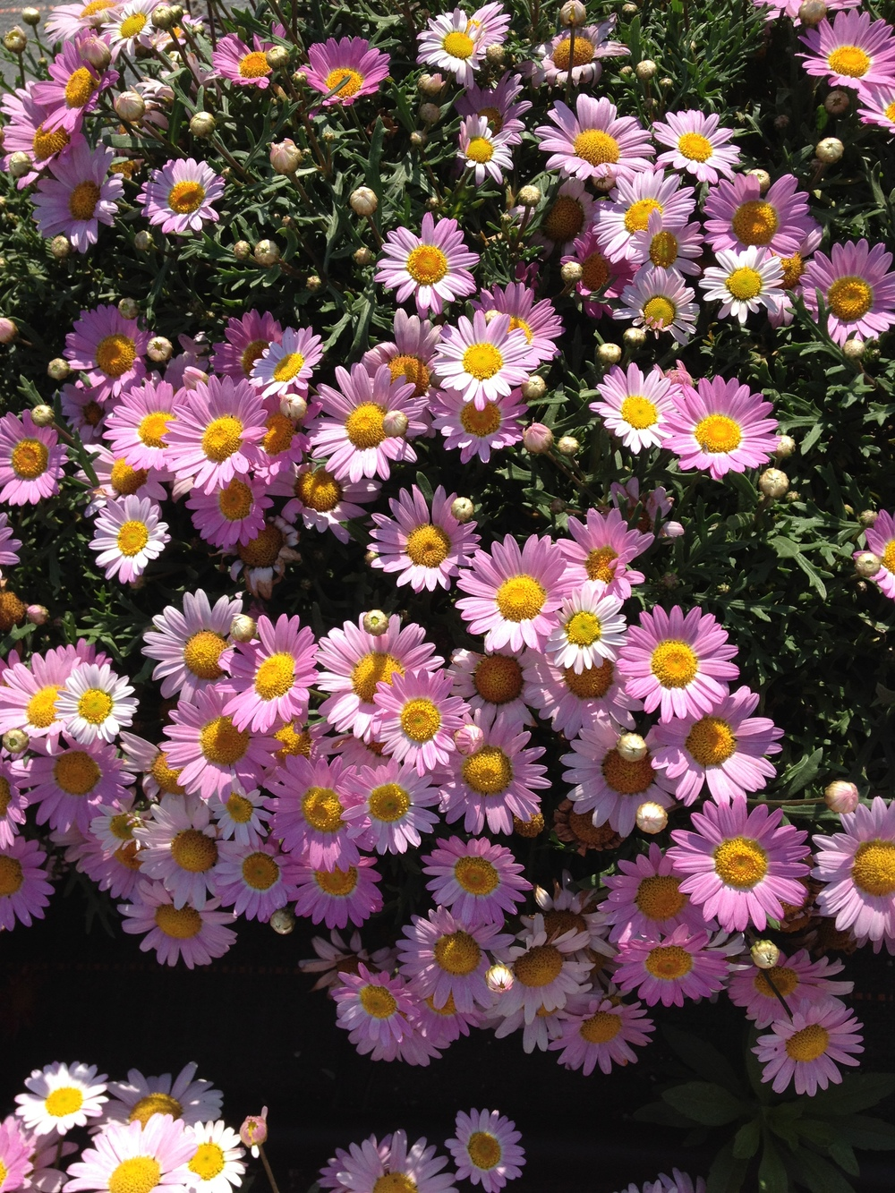 "Argyranthemum is a hardy spring annual that provides an abundance of flowers and color. It will outlast most spring annuals throughout the spring and can continue blooming through September. We feature this item exclusively in 4.5"" pots."