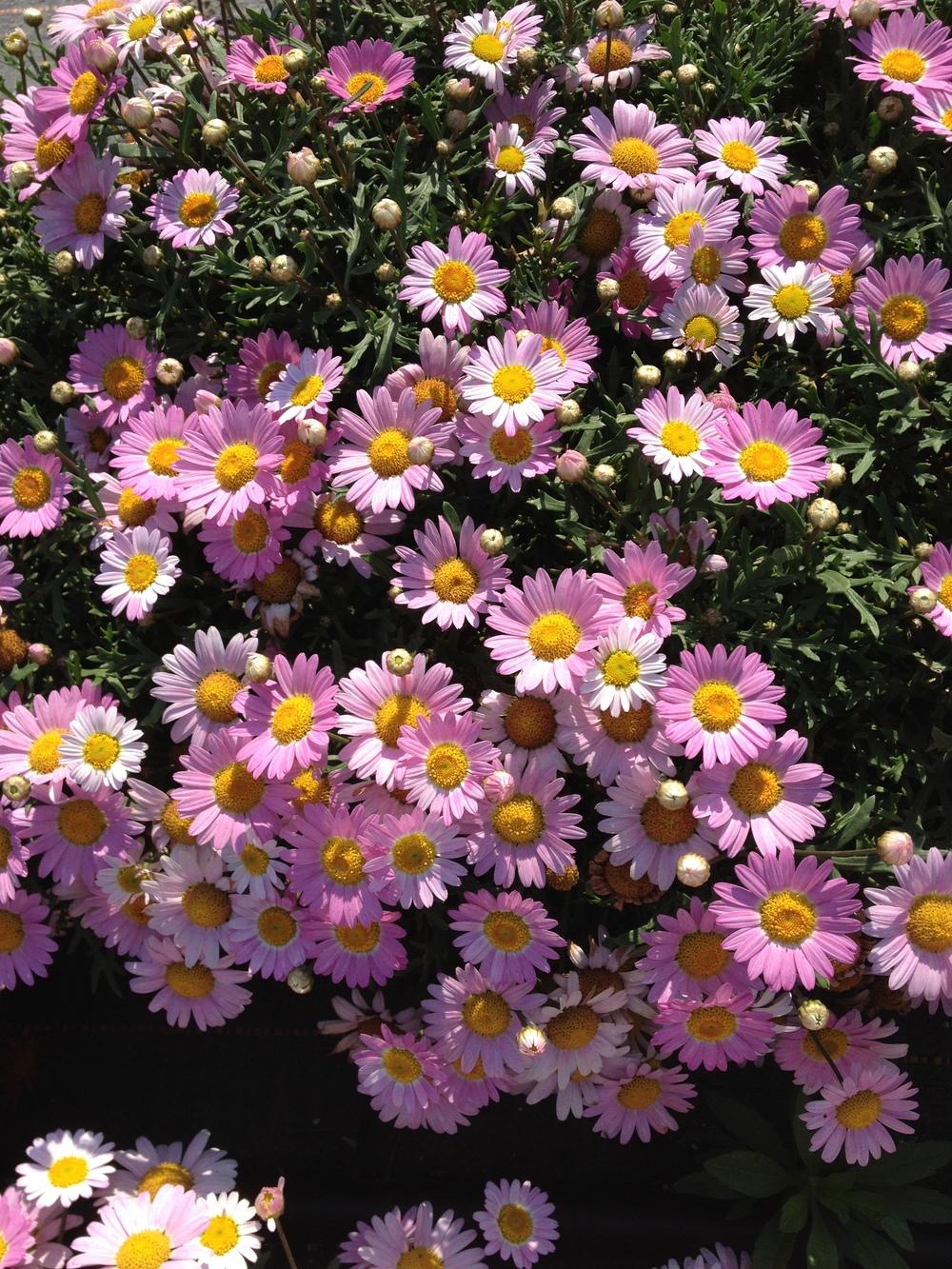Pink Argyranthemum
