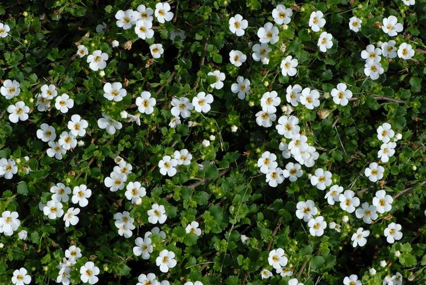 "Bacopa is a wonderful trailing and blooming flower that works great in sun containers. I features an abundance of white blooms with a yellow center and is one of our most consistent selling 4.5"" flowers. It can be seen in many of our 10"", 12"", and 16"" combination sun baskets."