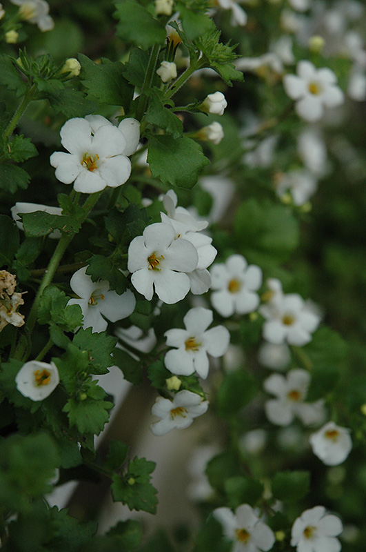Abunda Giant White Bacopa