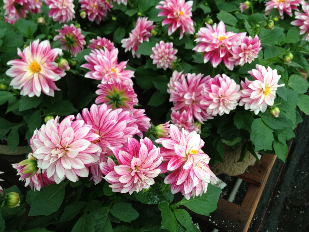 "Dahlias are a popular 4.5"" item at Schlegel Greenhouse due to their uniform size and their spectacular blooms. We feature them in a wide range of colors and they sell themselves on the retail end. A good performer throughout the spring and summer and a staple in our 4.5"" plant material program."