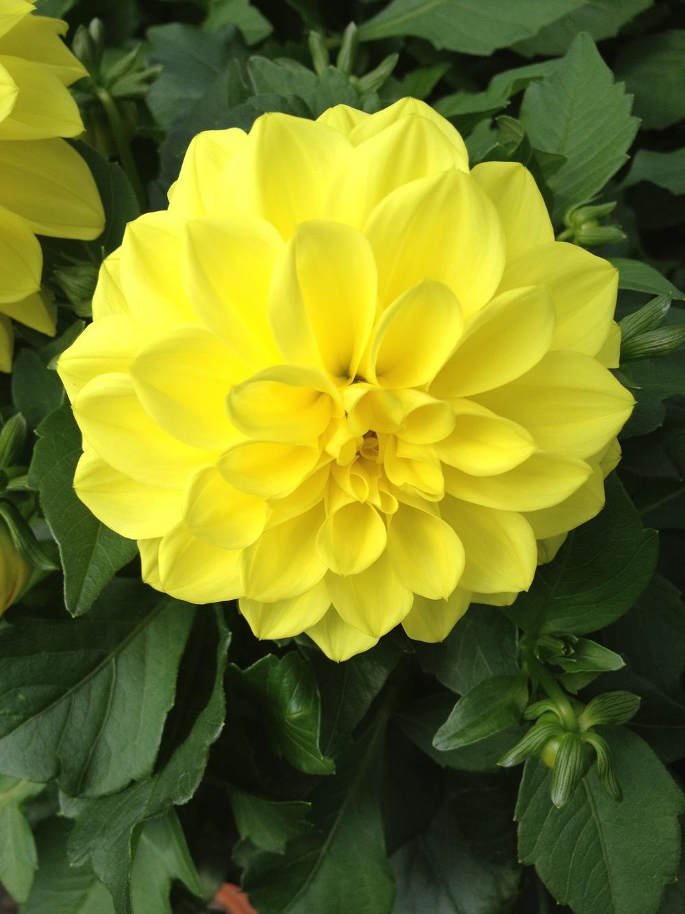 "Yellow 4.5"" Dahlia"