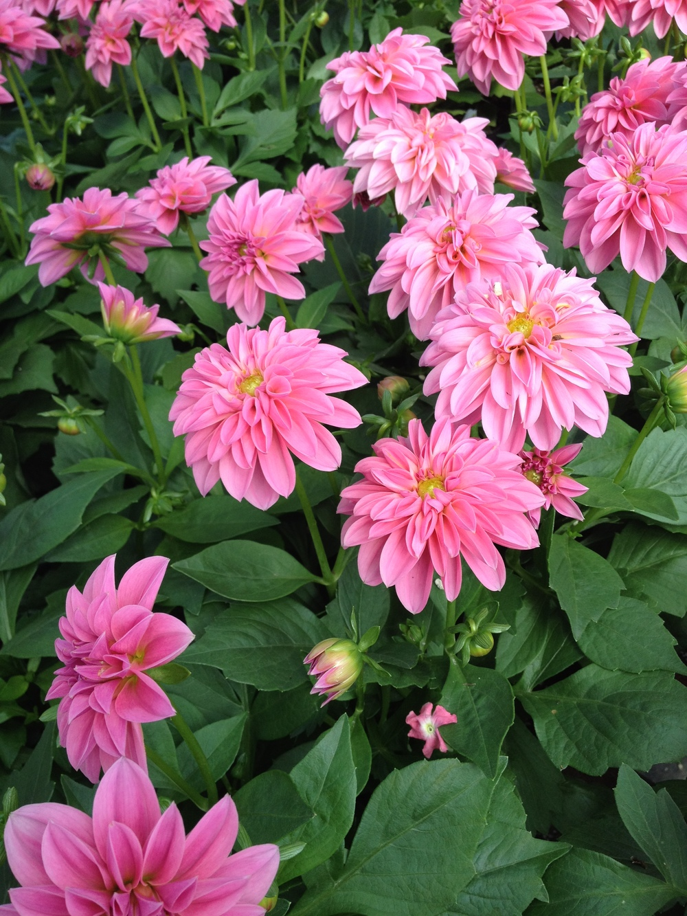 """Pink 4.5"""" Dahlia"""