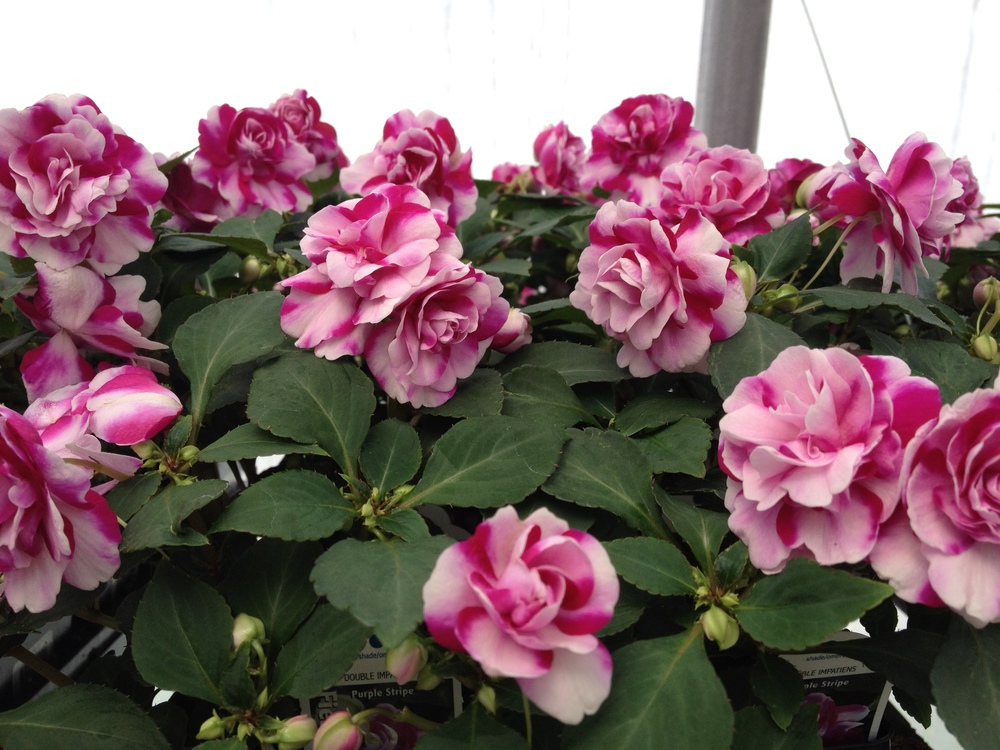"Double Impatiens are an extremely popular 4.5"" item here at Schlegel Greenhouse. We feature them in 7 different colors and make for a wonderful part sun bedding plant. Their beautiful blooms make them a definite crowd pleasure while featuring colors not seen in other varieties of impatiens."