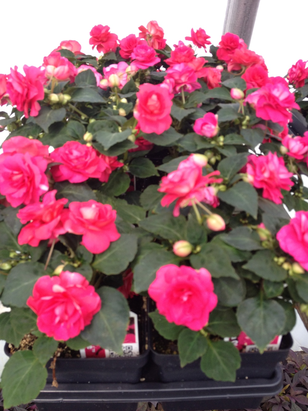 "4.5"" Cherry Double Impatiens"